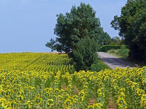 Campo de girasoles en Gers (Gascuña, Francia)