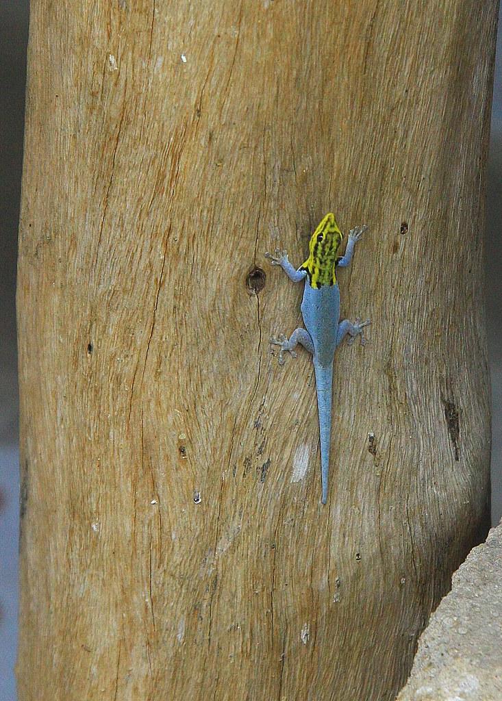 Lizard in Tanzania