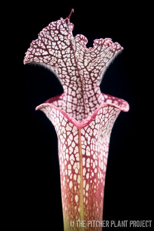 "SarracenSarracenia leucophylla ""Wilkerson's Red Rocket""ia leucophylla ""Wilkerson's Red Rocket""-2"
