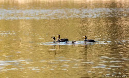Great Cormorant family