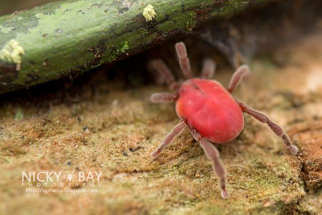 Long-Legged Velvet Mite (Erythraeidae) - DSC_3293