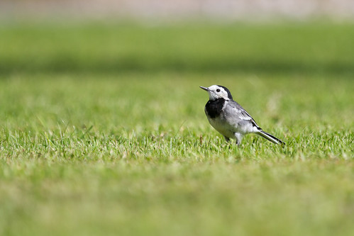 irish white bird nature animal moss wings alba wildlife aves birdwatching limerick piedwagtail wagtail whitewagtail motacillaalba universityoflimerick irishwildlife irishbirds natureinireland