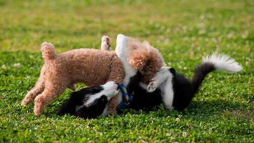_CSC6229-2貴賓狗+邊境牧羊犬