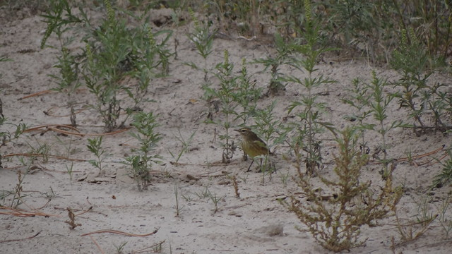 Palm Warbler, Sowbelly Canyon, Sioux County, Nebraska
