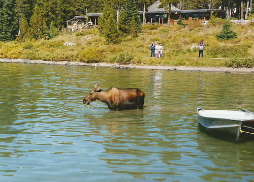 We saw a moose!!!!
