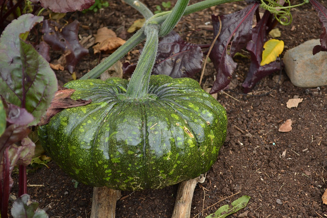 Cucurbita moschata 'Bliss'  is often used in savory dishes like curries because its flesh is not sweet. Photo by Blanca Begert.
