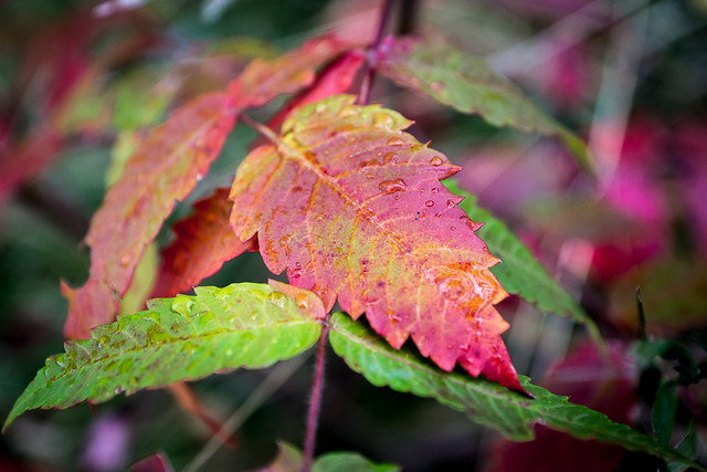 Leaf, Leaves, Fall, Autumn, Colorful, Multicolored, Sumac