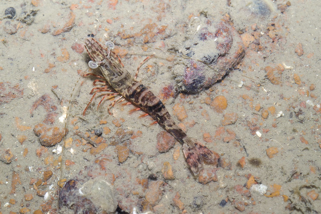 Banded penaeid prawn (Family Penaeidae)