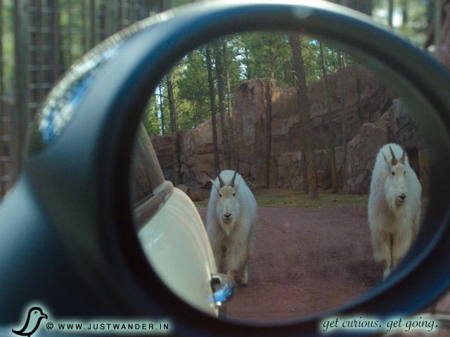 PIC: Bearizona's Rocky Mountain Goats