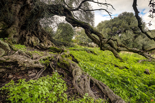 Millennial Olive in Sardinia