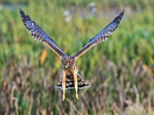 Northern Harrier 3-20131210
