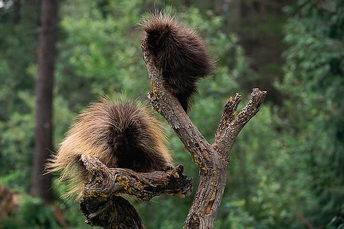 Wildlife in British Columbia, Canada: Porcupine