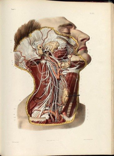Dissection of the head and neck, cranial, spinal and sympathetic nerves