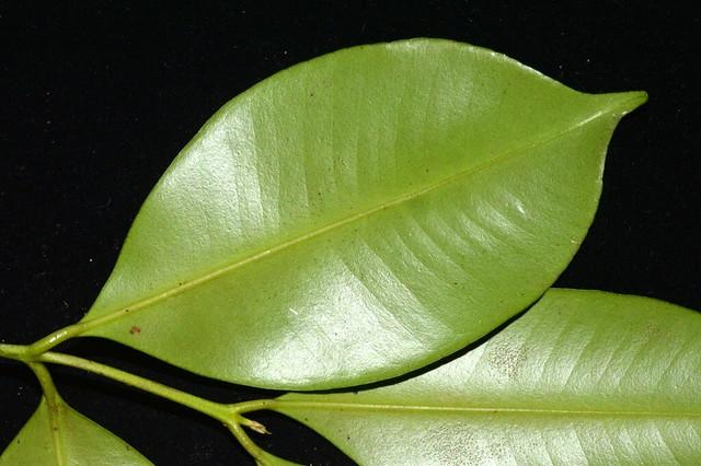 Syzygium johnsonii DSC_0036 (1)