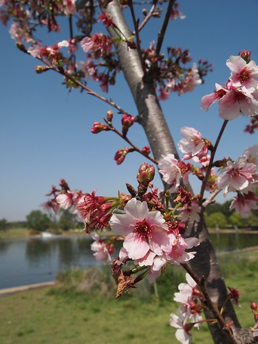 Lake Balboa Cherry Blossoms 2014 - 04