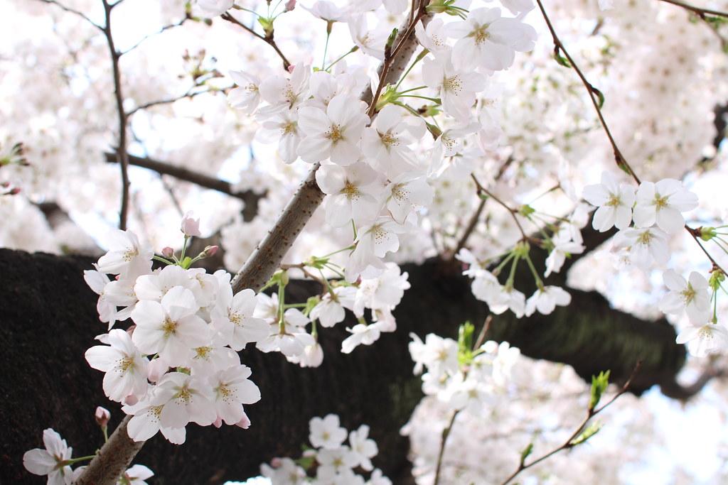 sakura2014(桜)2