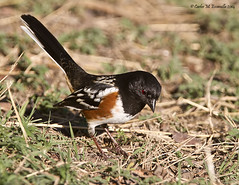 Spotted Towhee IMG_2145edtsg2