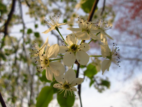 Bradford Pear Tree Blossoms #1