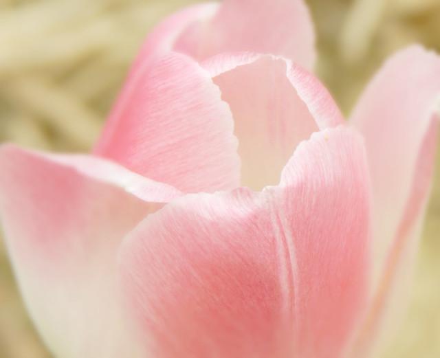 Happy Tulip, Nikon COOLPIX L830