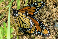 Danaus plexippus L. - Monarch Butterfly