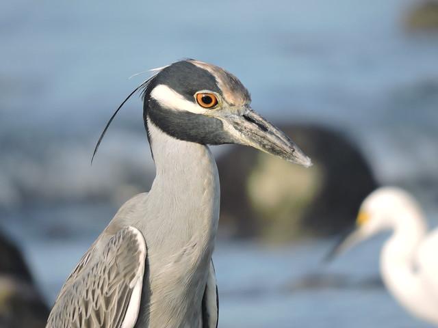 Wading Birds, Nikon COOLPIX P600