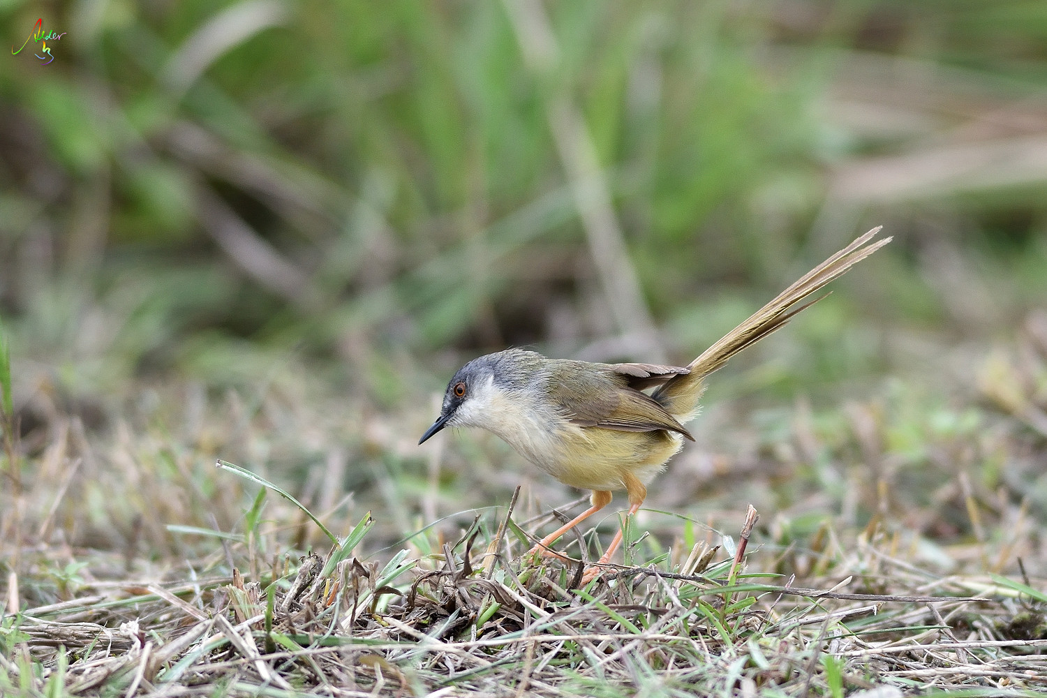 Yellow-bellied_Prinia_3660