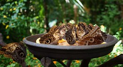 "Butterflies having lunch ""Caligo memnon"""