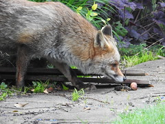 3rd  may 2017 Foxes 037
