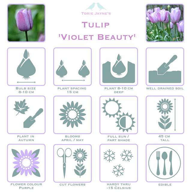Tulip 'Violet Beauty details