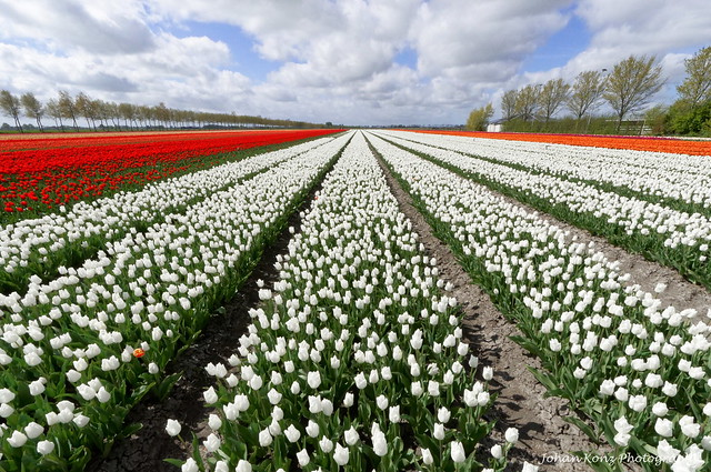 Tulips from the Polder