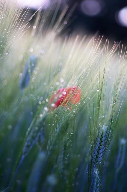 wheats and poppy
