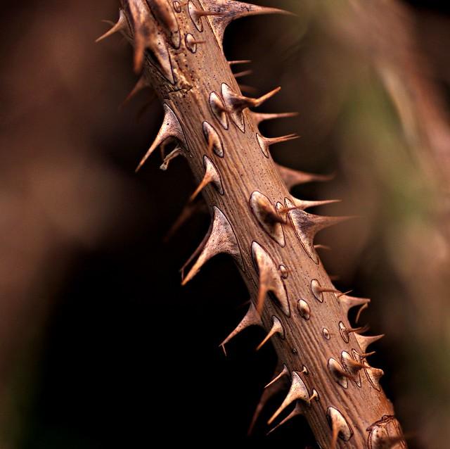 thorn 1, Canon EOS 40D, Tamron 90mm f/2.8