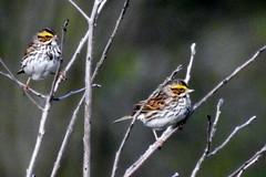 savannah sparrows at BARC