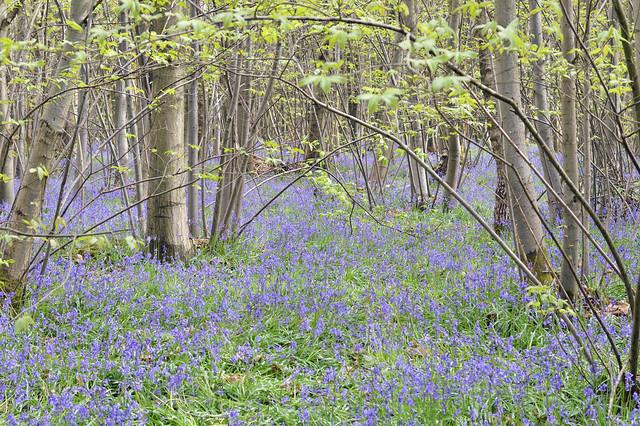 King's Wood, Challock
