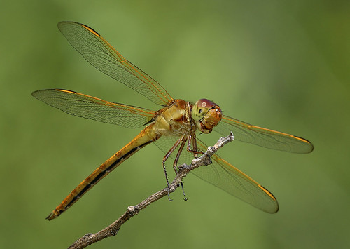 Needham's Skimmer Dragonfly, Fairchild Tropical Botanic Garden.