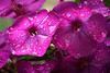 2 closeup phlox raindrops