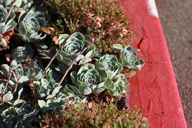 succulents curbside, mill valley