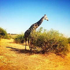 Giraffe. Always the most photogenic safari animal. #botswana #chobe #animals #giraffe.