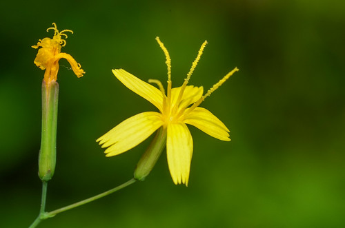 <p><i>Lactuca muralis</i>, Asteraceae<br /> Burnaby Lake Park, Burnaby, British Columbia, Canada<br /> Nikon D5100, 105 mm f/2.8<br /> June 29, 2013</p>