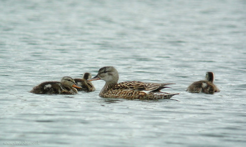 Gadwall brood at Gadsey Brook