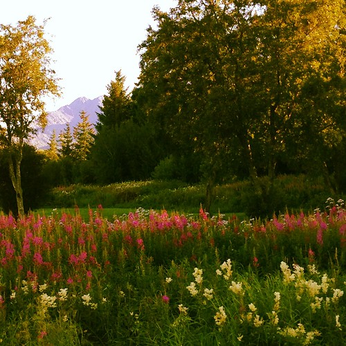 Flowery meadow in the Vega archipelago in Northern Norway