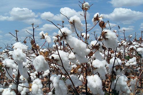 待採收的棉花田。圖片來源:http://www.flickr.com/photos/70671301@N03/6583128607,本圖符合CC授權使用。