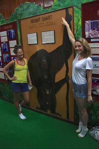 Orangutans… short, but a reach Shaq would be jealous of