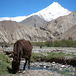 Donkey Grazing Under Snowcapped Mountain - Ladakh, India