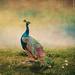 * Peacock * by pareeerica