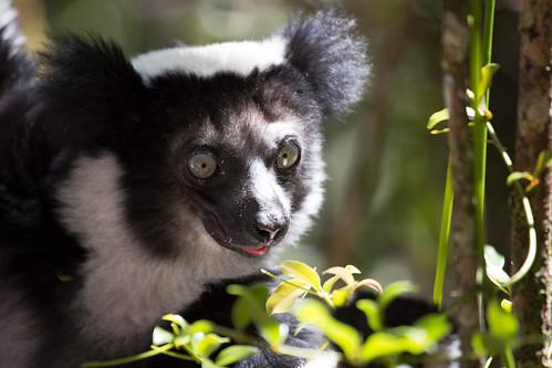 根據世界自然保育聯盟最新全球風險物種評估報告,生活在馬達加斯加的大狐猴(Indri)已經瀕臨絕種。(圖:Michael Sale)