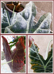 Our Alocasia sanderiana (Kris Plant, Sander's Alocasia), infested with red spider mites, August 18 2013
