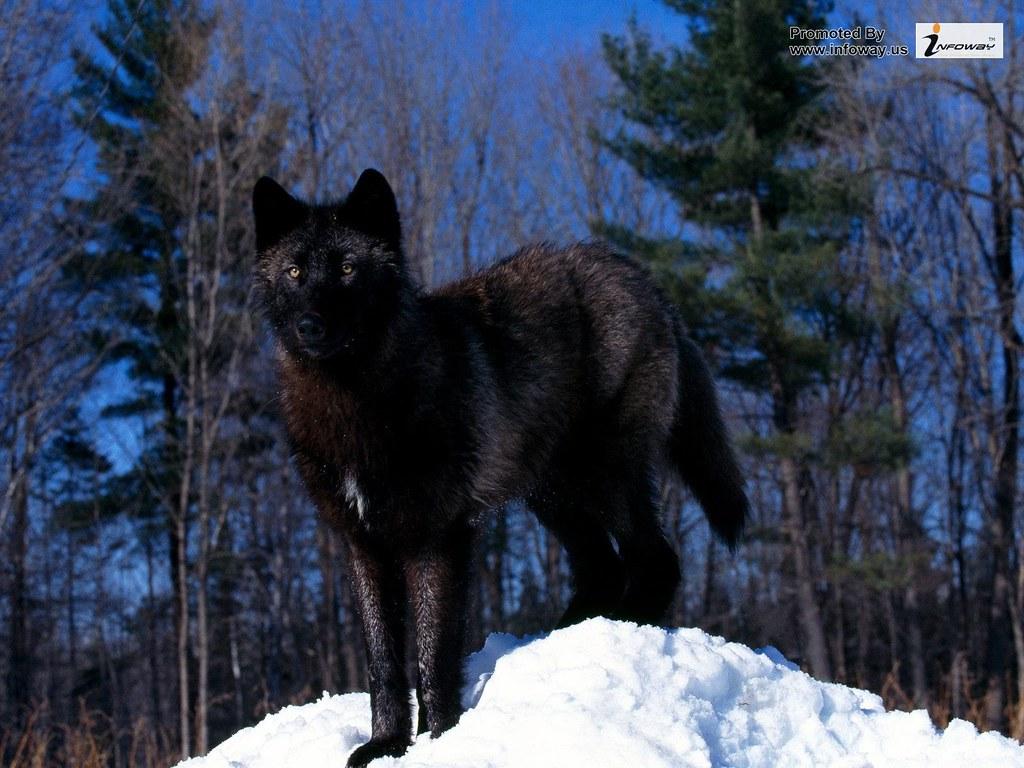 Black Wolf Wallpaper Black Wolf Wallpaper Matthew Smith Flickr