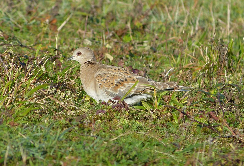P1060238 - Turtle Dove, Cosmeston