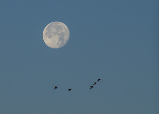 Flock of birds and the Moon 19 Nov 2013